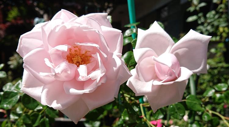このバラの品種わかりますか? 多分一季咲き、ツルばら、香りありです。