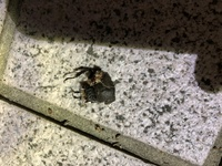 クワガタ?メス? 画像の虫は何でしょうか? ミヤマかヒラタのメスかなと思ったのですが、、、。