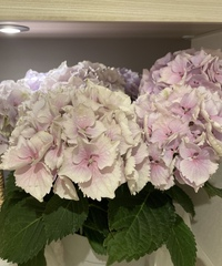 紫陽花(ハイドランジア)の品種を教えてください もらった紫陽花の品種を知りたいです。 色は薄紫〜ピンク、花びらはギザギザして先がやや尖っています。  茎は緑色です。    よろしくお願いします