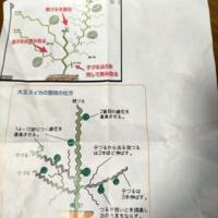 大玉スイカの剪定。 検索すると孫づるを残す? 全部、切る? わからないです。  ちなみに青森県です。 家庭菜園で1坪に3株を地植えしました。  黒マルチもしました。