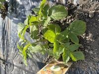 家庭菜園、ジャガイモについて。この黒い斑点はヤバいかな?苗を植えた時、ベニカスプレーをかけまくりました。アドバイスをください。