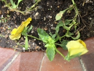 花壇のパンジーです。 花は咲いていて蕾もついています。 しかし、茎が伸びすぎたためか、倒れています。 どうすればいいですか? 割り箸が何かで添え木しようかと思っています。