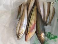 色鮮やかな魚はベラでしょうか? 食べられますか?