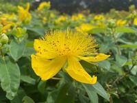 近所の公園にたくさん咲いているこの黄色い花の名前を教えてください。