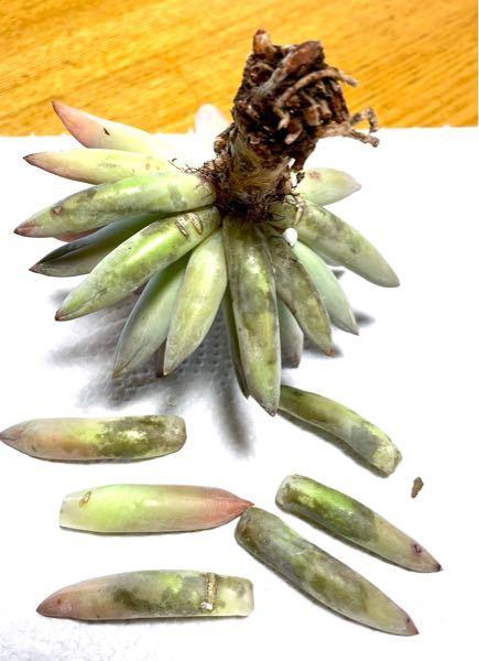 多肉植物の千代田の松ですが、様子がおかしかったので抜いてみたら葉の裏側が黒くなり、根も張っていませんでした。 葉に張りはあります。 これは病気でしょうか? 対処方法をご存知の方、アドバイス宜しくお願い致します。