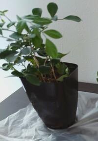 ダイソーで買った300円の観葉植物なんですが、名前が付いていなくて... 店員さんに 聞いても 分からないとの事で 困ってます。 どなたか 観葉植物に 詳しい方 教えてください。