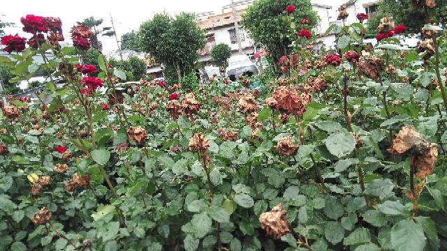 さいたま市の公園に咲いていたバラなのですが、ほとんどのバラが写真のように枯れて!?しまってました… これは病気によるものなのでしょうか? それとも天気によるものなのでしょうか? ちなみに葉っぱは綺麗な状態でした(•‿•)