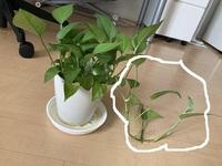 観葉植物のポトスなんですが、〇で囲った部分だけがドンドン伸びてきます。 普通は、変に伸びた部分はちょん切るのでしょうか? それとも、ナチュラルに伸ばすものでしょうか?