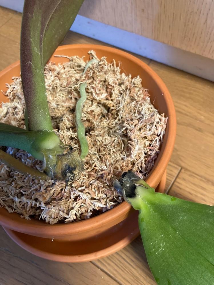 胡蝶蘭の緑の葉が、根元が黒くなって取れてしまいました。株の根本も黒くなっています。 原因と対処法につきアドバイス頂けますでしょうか。 園芸初心者です。初めて胡蝶蘭の鉢を頂き、咲き終わったので一株ずつ分け、古い根を処理してから素焼きの鉢で水苔に植えました。 ただ、根っこが黒くブヨブヨしているのがほとんどだったため、処理後は根が数本のみでほとんどなくなってしまいました。 (花の咲き終わった茎は短くカットしました) 水やりは2週間ほど控えてから、週1で行っています。葉がだらんとしてるなと思い、軽く 触ったところぽろりととれてしまいました。 葉の付け根を見ると黒く枯れてしまっています。 黄色くなって落ちるのは心配ないと聞いたのですが、この葉は緑で一見ツヤツヤしていました。 試しに掘り出してみたところ、数本あった根もなくなり、株元が黒くなっています。