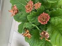 鉢植えのガーベラです。 春先から先日までは 綺麗に咲いていたのですが、このところご覧の状態です。 チリチリと言うか、発育不全?ドライフラワーのような??? 乾かし気味で シナっとなった事が何度もあったので、水不足か? 暑くなってきたので、この頃は毎朝の水やりです。 ハイポネックスを適時あげています。 アブラムシは見かけません。 今からでも復活させてあげたいです。