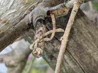 金木犀が何かの虫?に食べられているようです。 幹から枝ようなまゆ?が出ています。 なんの生き物のものかご存知の方がいらっしゃいましたら教えて下さい。