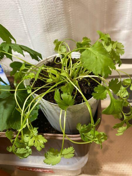 パクチーが萎れてきました。 3度目の苗です。 昨年苗を買ってきたのですがすぐに枯れました。植え替えの仕方が悪かったと反省をいかそうと、今年の5月にしっかりした苗を買い土を払いおとさず植え替えましたが1ヶ月ぐらいで萎れてきました。再リベンジで残っていた苗を買ってきましたが、植え替えをせずに育てていますがまた萎れてきました。 いつもこの状態で焦り水をやり、日光に晒し、そのまま枯れていくパターンです。 放置すればいきかえりますでしょうか? 素人で申し訳ありません。