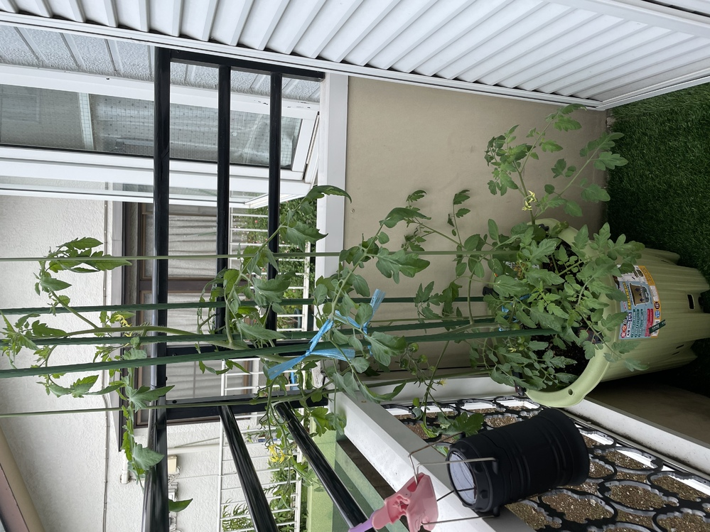 プランター初心者です。ミニトマトを育てているんですが、上の方の葉が垂れ下がってきてしまいました。 調べても自分では何が原因かわからず、水が足りないのかな?と2〜3日に一度水をやるようにしています。関東で気温は25度前後です。 最初に肥料入りの土を入れて以降肥料は足していません。 どうしたら元気なトマトになりますか?