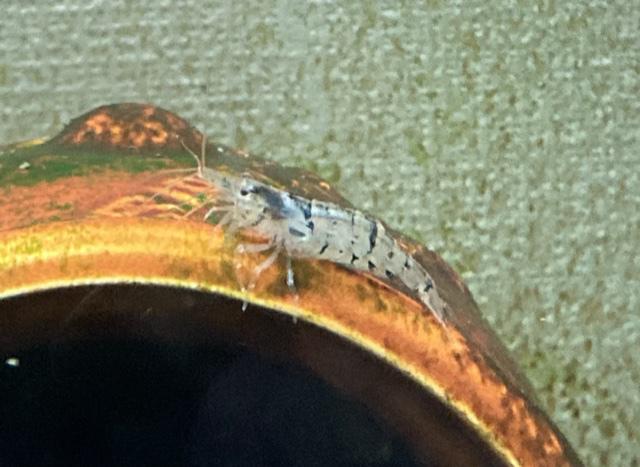 このエビはヌマエビですか?