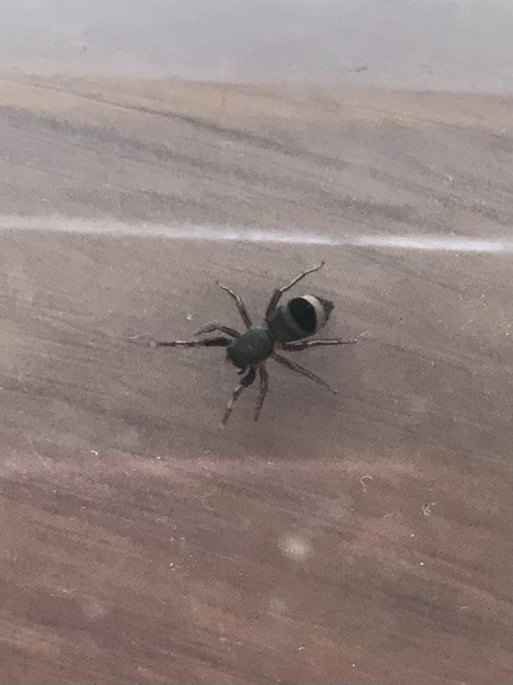 おしりに横向きの白線がある蜘蛛の名前が知りたいです。蜘蛛は好きでよく調べるのですが、アダンソンやチャスジとは異なる種類だと思います。 以下特徴です。 色|全体的に黒、腹部後方に横向きの白線、触肢に縞模様、鋏角の先端は白 大きさ|脚含め6〜8mm程度 発見場所|室内 その他|毛は無し