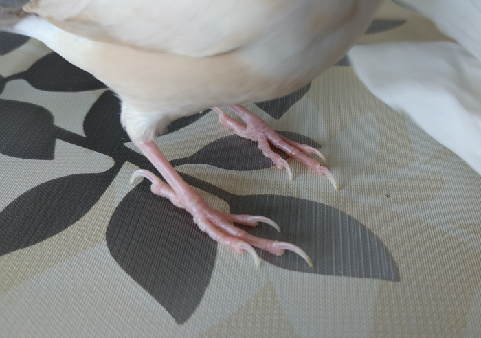 文鳥の爪切り 初めて、文鳥の飼育をしています。 生後3か月のシナモン文鳥です。 2か月前に、小鳥の病院に健康診断に連れて行き、その際に爪を切ってもらいました。 次は、どの位まで伸びたら爪切りをするものなのでしょうか? 爪がどこかに引っ掛かったりすることはないです。 今は、透けて見える血管から、3~4ミリ先まで伸びています。