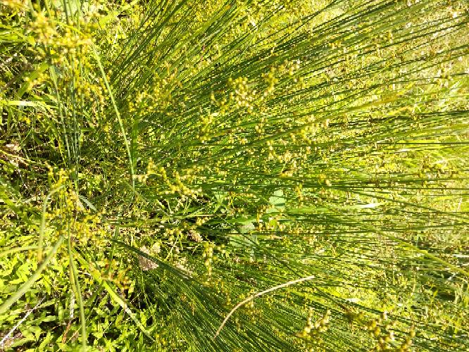 この尖った雑草は何ですか。 草刈り機によく絡まり、チガヤより厄介です。 束になってみずみずしくてスパッと切れません。