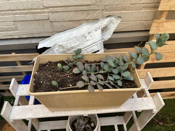 この子はミセバヤでしょうか?? どうしてあげたら良いですかね? 上に伸びてたんですが茎から根が出てたので横に倒して植え替えてみました。