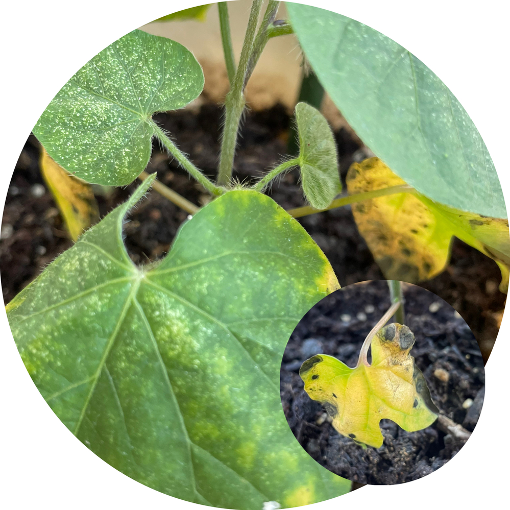 1ヶ月ほど前に撒種した丸葉朝顔ですが、本葉が3枚出たあとに蔓がどんどん伸びています。 子葉2枚と1枚目の本葉の3枚に黒い斑点と黄色っぽい変色があり、病気ではないかと焦っています。 ハダニやアブラムシの被害があって、ホームセンターで購入した酢原料の薬を頻繁にかけてしまっていました。 日照時間は午前中の5時間程度です。 原因や対策がわかる方みえましたら教えてください。 よろしくお願いいたします。