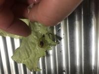 サニーレタスの葉についてました。 洗ったら20こくらい取れました。 これはなんなんでしょうか? 何かの卵なのかな?と想像してると なかなか食べる気にならないです。