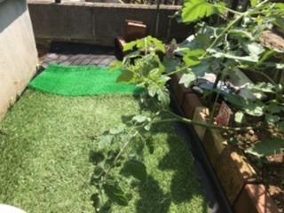 ミニトマトの栽培しています。 地面の近くの茎ですが、小さな花壇から結構長く出てしまいました。 土地が狭いのとこれから外壁の工事のため足場が近くまできます。 切っても大丈夫でしょうか?それとも紐で 誘引して支柱に紐をくくりつけて、あまり花壇から出ないようにすればいいですか? 初心者なんで間違ってしまって枯れてしまうと悲しいので、質問させてもらいました。 教えてください。