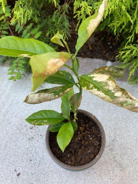 レモンの木ですが、何かの病気ですか?