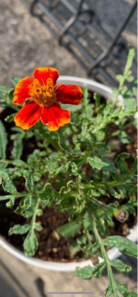 マリーゴールドの葉っぱについて。 タネから育てていて、花が咲いた〜!!! と喜んでいたのですが、葉っぱに元気がなく、、、 このまま枯れてしまうのでしょうか涙 水のあげすぎ?あげなさすぎ? 何が原因なのでしょう。。