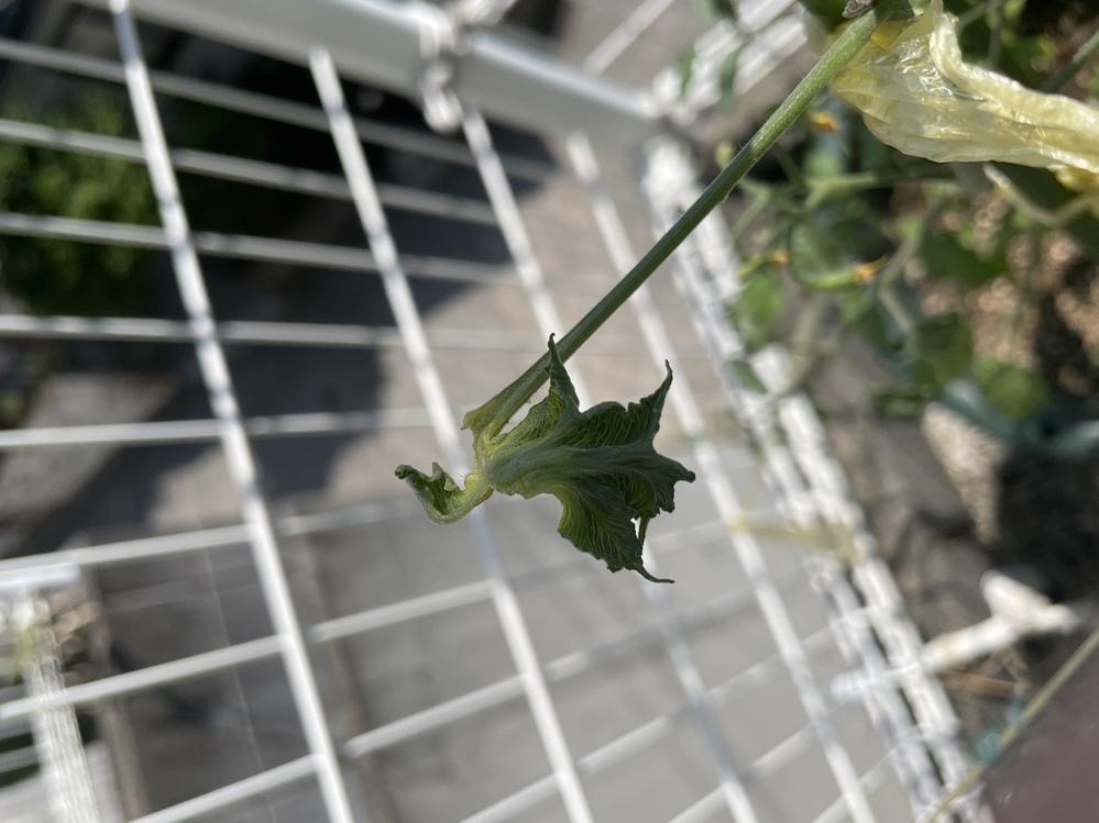 ミニトマトを育てていますが第二花房辺りから葉の形が奇形しはじめました。 これは何かの病気でしょうか? またどんな対策をすればよいのでしょうか?