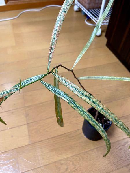 ボトルツリー/ブラキキトンが欲しくてずっと探していたのですがどこへ行っても出会えず、長場諦めていた所に今日ダイソーに行ったら植物コーナーの奥の隅の方に追いやられていたボトルツリー/ブラキキトンを発見して 連れて帰ったのですが状態は写真の通り瀕死状態(?)の様な姿で可哀想です…。 日頃から色々な観葉植物を育ててはいるもののこのような状態から復活させるのには無知で自信がありません。 よく観てみると枝先5センチほどは木っぽくなくまだ緑のままなので成長している証かな?と思ったのと先端には新芽も出ています。 どうにか大きく成長させたいのですが、どう育てていけばいいでしょうか? 今ある葉っぱは落とした方がいいとか何かアドバイスありましたらお力をお貸しください、、 宜しくお願いします!!