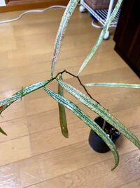 ボトルツリー/ブラキキトンが欲しくてずっと探していたのですがどこへ行っても出会えず、長場諦めていた所に今日ダイソーに行ったら植物コーナーの奥の隅の方に追いやられていたボトルツリー/ブラキキトンを発見して 連れて帰ったのですが状態は写真の通り瀕死状態(?)の様な姿で可哀想です…。 日頃から色々な観葉植物を育ててはいるもののこのような状態から復活させるのには無知で自信がありません。 よく観てみる...