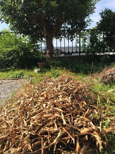 わら の代用 (引きわら) 金柑 や すだち や まき の 枯葉 は とうもろこし スイカ メロン 他の植物 の 引きわらにしても 大丈夫でしょうか?