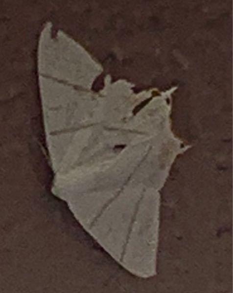この白い蛾はキアシドクガでしょうか。