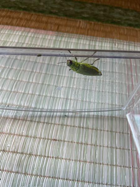 この虫の名前教えてください。 子供に聞かれましたが答えられませんでした