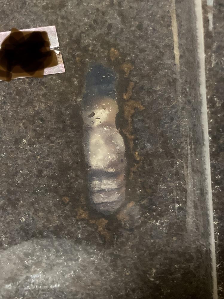 カブトムシの蛹に白いカビのようなものがついてしまいました。 カブトムシを育てて3年目ですが、初めてのことで戸惑っております。 水分が多かったのかなと反省しております。 この子はオスで背中にカビを背負いながらも生きています。 メスも一匹同じ症状の子を確認しております。 検索してみましたが、マットにカビが生えた事例ばかりで、カブトムシ自体にカビがついているのは死んでいるから等の意見ばかりでした。 恐らく羽化まで、まだ2週間ほどかかるかと思われます。 同じケースの子たち(計6匹おります)までカビがつかないよう、全員マットから出して人工蛹室に移した方が良いでしょうか? カビがついてしまった子に出来ることはありますか? 今日も元気にグニグニ動いているので、出来れば上手く羽化してほしいです。 経験者の方いらっしゃいましたら、ご教授よろしくお願いします。