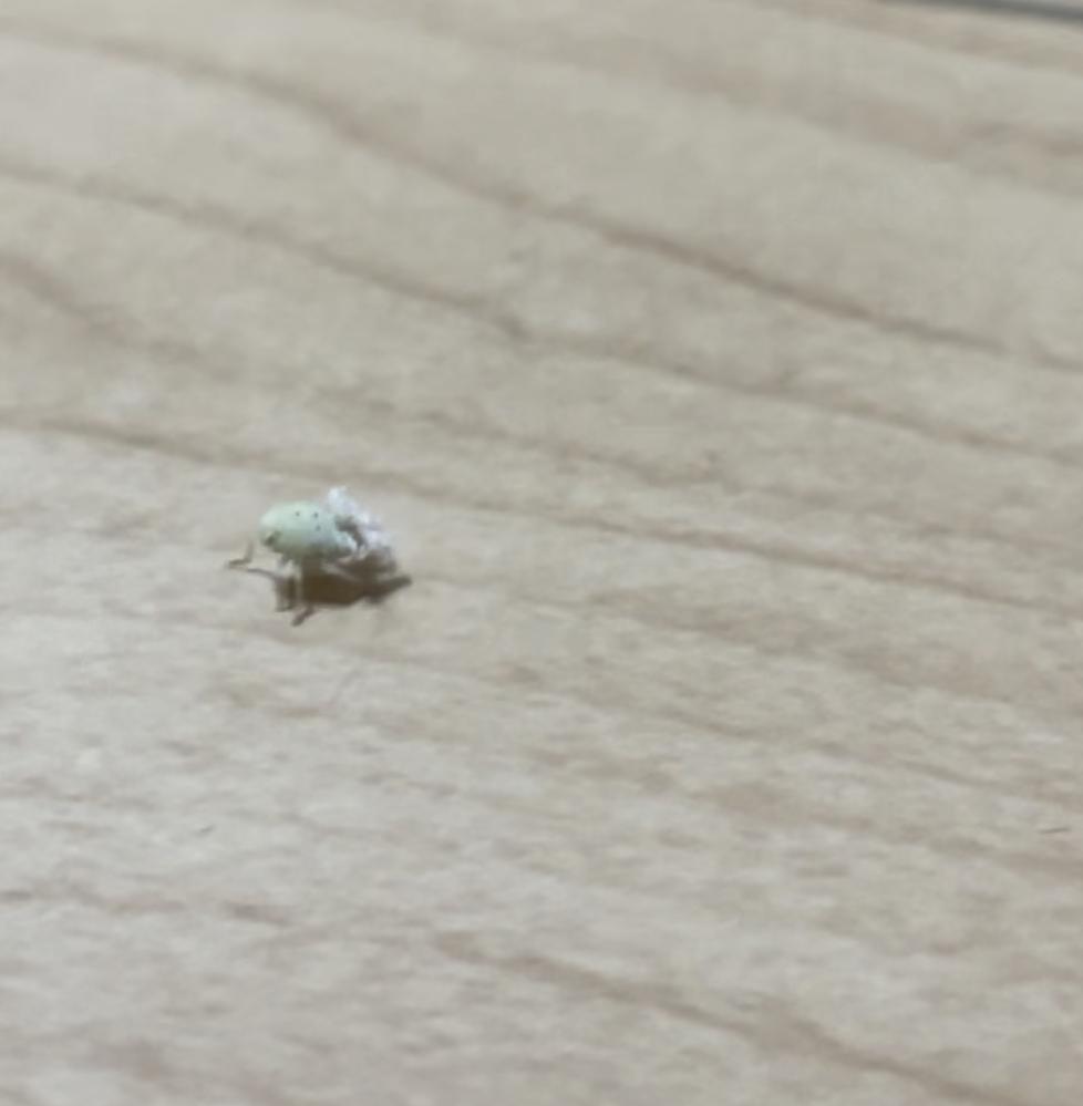 家に白い謎の虫が出たんですが、これは何という名前の虫ですか? 顔がツルッとしていてお尻がふわふわでした! 体長0.5cmなかったと思います。