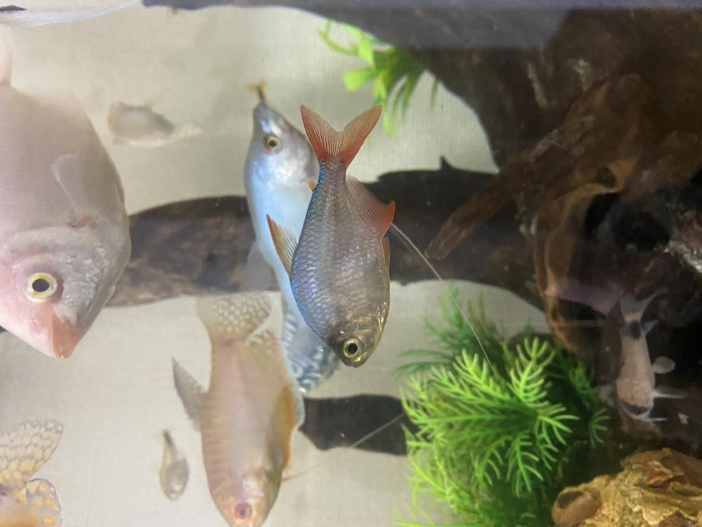 この中央のヒレが赤い魚の名前はなんという名前の魚でしょうか。 1匹だけ種類が分からず、ふと気になりました。 よろしくお願いいたします。