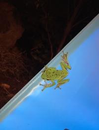 このカエルの種類分かりますか?