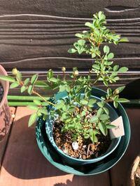 極小ミニバラの《みさき》です。 まだまだ苗が小さいです。  5号くらいに植えてあります。 蕾が付いていますが、やはり、咲かせずに、摘んだ方が良いでしょうか。