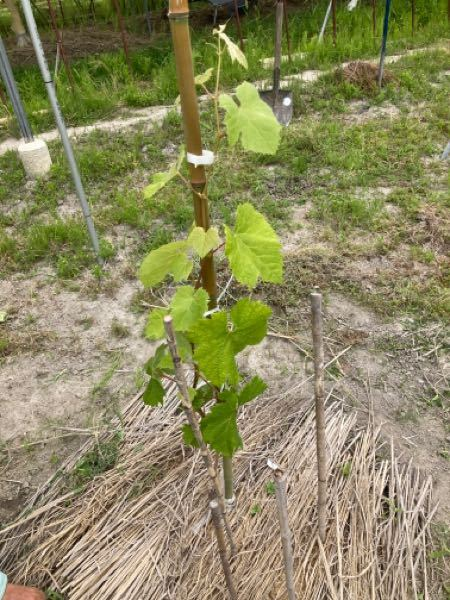 シャインマスカットの栽培について質問です。 苗木が伸びてきたのですが、葉の色が薄いように感じます。 肥料をおいた方が良いのでしょうか。 また置くならどんな肥料、どれぐらいの量を置いたらいいでしょうか。 お詳しい方よろしくお願いします。