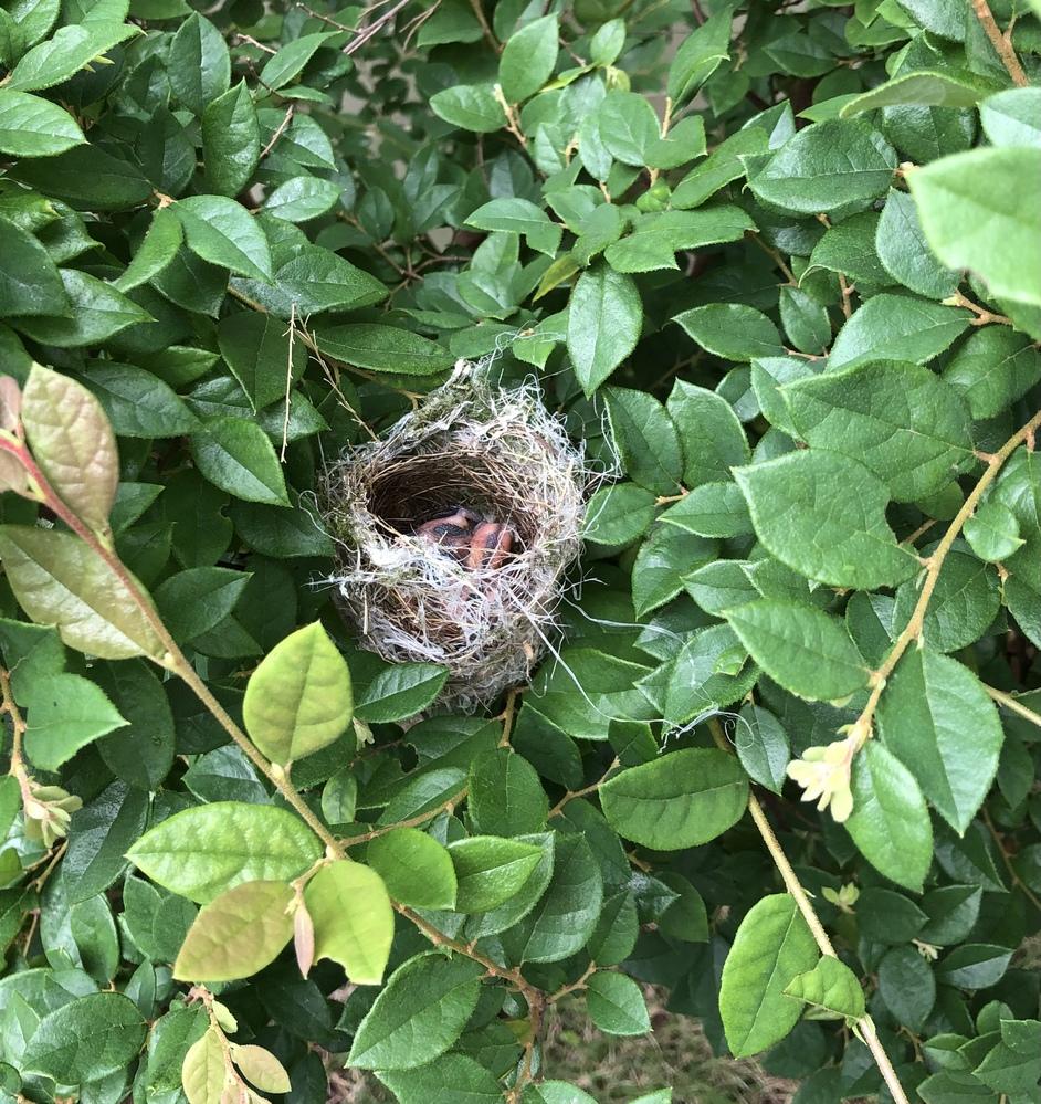 庭に巣を見つけたのですが、誤って触ってしまいました。 親鳥が心配そうに鳴いていて、すぐその場を離れたのですが、戻ってきません、、 覗いてみると口を開けていないのですが、生まれたばかりだったのでし...