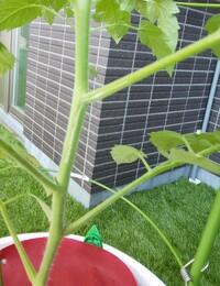 ☆至急☆ 家庭菜園初心者です。 ミニトマトを育てていて やっといま初めての 花が咲き楽しみにしていました。 今日みたら 茎に白い筋がはいっていました。 これは病気や害虫の仕業でしょうか?  普段農薬等はつかわず やさお酢を定期的にまいています。  助けてください。