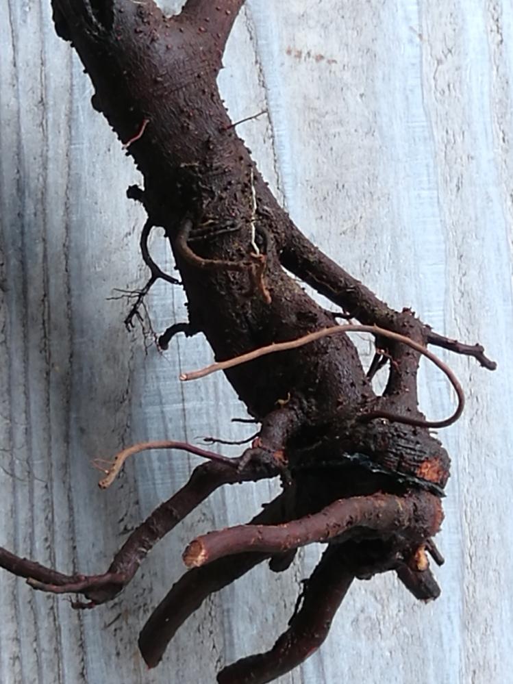 木の根っこです。 木を鉢から抜いて根を選定したのですが このまま植えても大丈夫ですか? 誰か教えて下さい。 宜しくお願いします。