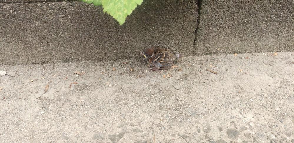 家の前にスズメのヒナがおちていたのですが、巣立ち練習中の雛でしょうか? 親らしきスズメがご飯をあげているような場面は見たのですが、巣も見つからず…… すぐ側に道路があるので、簡易な巣のようなものを拵えるか、どうすれば良いか悩んでいます