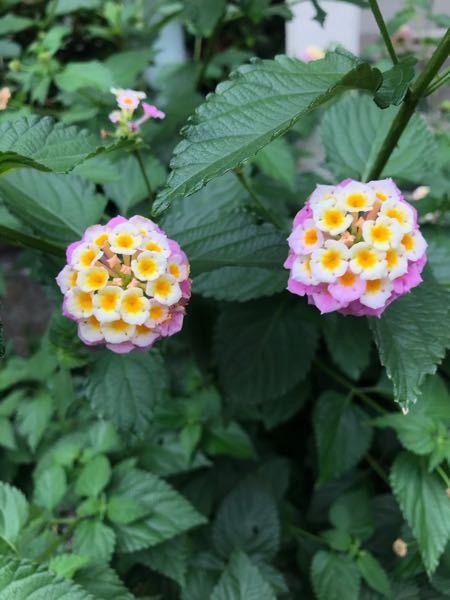 こちらは何という花でしようか?