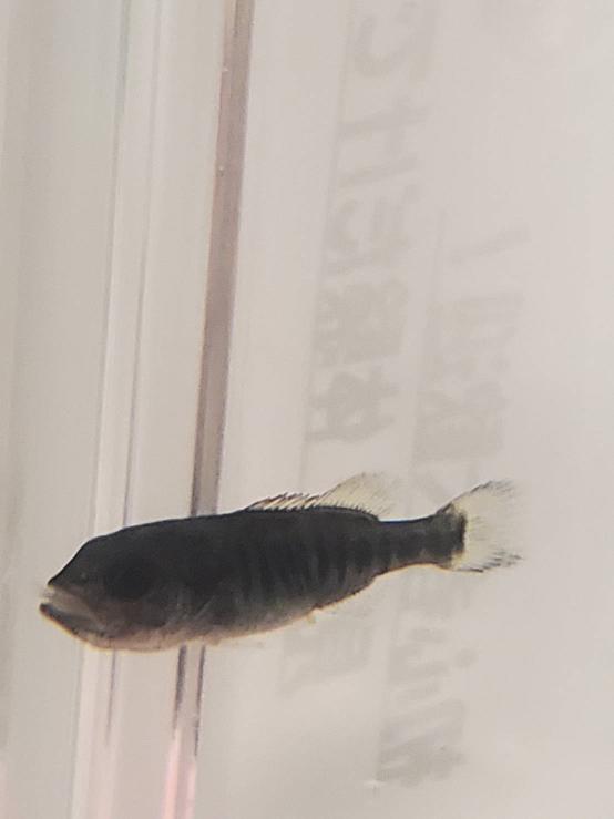 この魚の名前を教えてください。体長2センチぐらい、体に縦じまがあります。用水路にいました。
