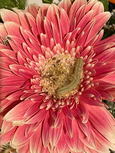 この子は何の幼虫でしょうか?分かる方教えてください。 お花の中心部から急に現れ、ムクムク成長しています。 とりあえず今は家で成長を見守っており、いずれ自然に返します。