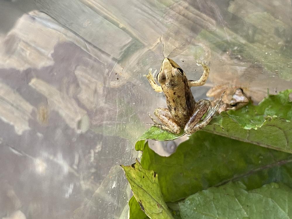 このカエルは何というカエルですか? 詳しい方、教えて下さい。