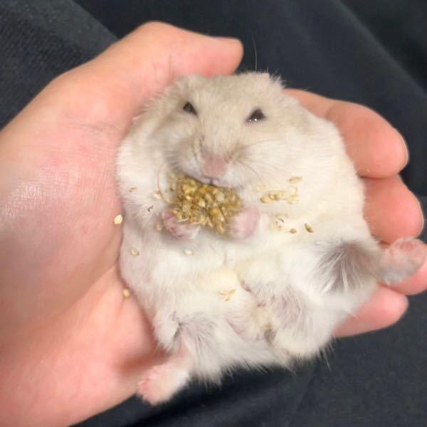 飼っているハムスターが粟ボールを写真のようにすごく美味しそうに食べるのですが、本当に美味しいんでしょうか? 人間が口に入れたら粟ボールって味するんでしょうか? 変な質問になりますけど食べてみたことある人いますか?