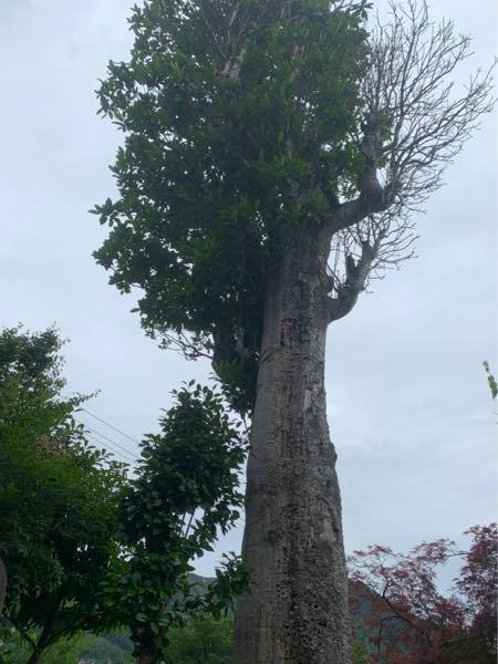 この木の名前がわかる方いらっしゃいますか? 樹齢100年以上のもので、処理したいと考えているのですが 種類がわからず検索してもなかなか出てきません… 珍しい種類のものなのでしょうか… 庭先に植えられていたものです。
