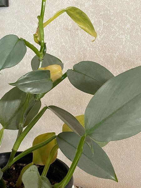 観葉植物のシルバーメタルです。 購入してから1年近く順調に育っていたのですが、最近になって葉が黄色くなってきてしまいました。 特に変わった事はしていないのですが、原因は何でしょうか?